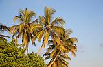Coconut palm trees against blue sky, Mirissa, Sri Lanka, Asia