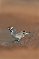 578670043 a wild black-throated sparrow amphispiza bilineata perches near a waterhole on santa clara ranch hidalgo county rio grande valley texas united states