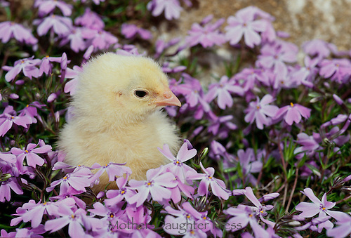 Rhode Island Red Chick in garden with purple phlox spring USA