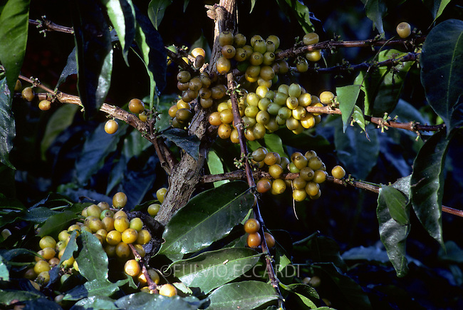 coffee, coffea, arabica, cherries, beans, ripe, variety, plantation, plant, tree, bush, foliage, green, yellow, grow, organic, unpicked