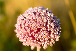 Close up of pink flowering seed head of onion plant