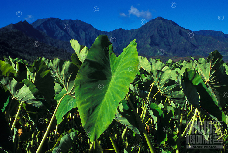 Taro at Hanalei National Wildlife Refuge, north Kaua`i, habitat for endangered waterbirds, the taro root (corm) is used to make poi.
