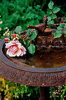 A stem of the rose 'Lovely Lady' has been cut and placed on an old rusting bird bath