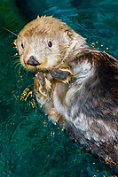 Alaska sea otter, Enhydra lutris kenyoni, (c)
