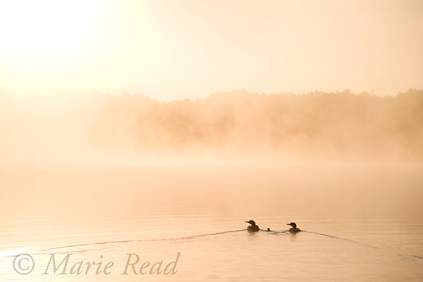 Common Loons (Gavia immer) pair with chick on a misty lake at sunrise, Michigan, USA