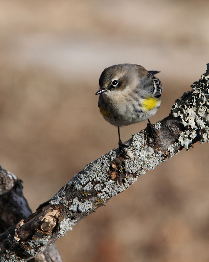 Yellow-rumped Warbler in Winter Plumage.