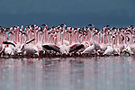 Seeking a more intimate perspective of the flamingos, I lay in the mud at the edge of Kenya's Lake Nakuru, quietly waiting for them to move closer. Sweeping back and forth in tight formation, the flamingos created a sea of perpetual pink motion