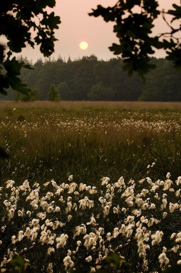 Nederland, Westerbork, 10 juni 2007.Veenpluisje.Moerasplant die uitgebloeid een leuk pluizig wolletje aan z'n steel heeft. Groeit in natte moerassen en vennen.. Foto (c) Michiel Wijnbergh.