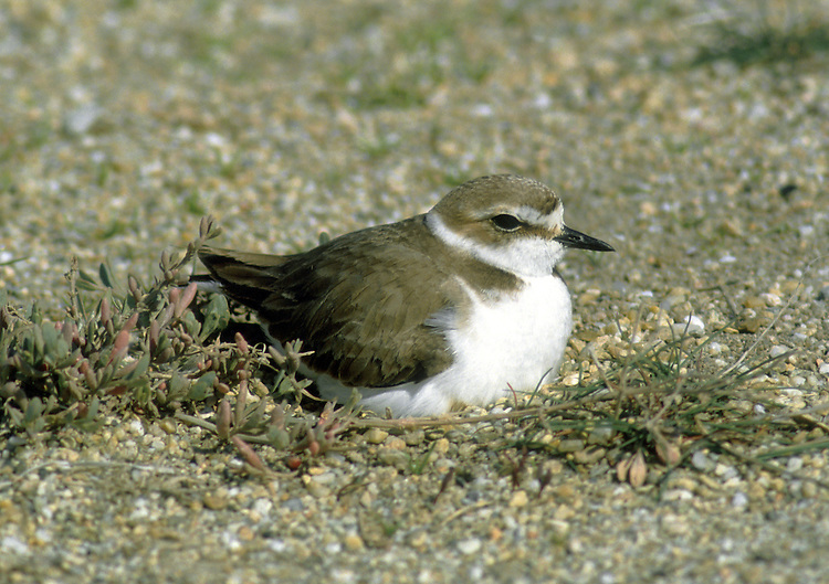Kentish Plover Charadrius alexandrinus L 15-17cm. Dumpy little coastal plover. Looks overall much paler than other similarly sized species. Note white wingbar in flight. Sexes are dissimilar. Adult male in summer has sandy brown upperparts and white underparts. Sandy crown has black at front and rufous at back. Has black through eye and dark patch on side of breast. Legs and bill are black. Summer adult female, juvenile and winter adult are similar but black elements of plumage are pale sandy brown (same colour as upperparts); legs are dull brown. Voice Utters a soft bruip call. Status Scarce, short-staying passage migrant, found on sandy estuaries.
