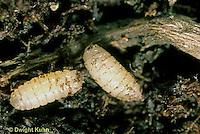 1F06-001c  Cabbage Root Maggots