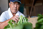 Kazuyoshi Otomo sorts through some produce grown on is farm in Sendai, Miyagi Prefecture Japan on 02 Sept. 2012. Otomo cleaned up his post-tsunami rice and joined forces with a local brewery to make a Recovery Sake. Photographer: Robert Gilhooly
