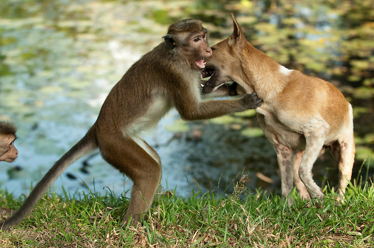 This extremely rare behaviour shows a male toque macaque play fighting with a stray dog. I witnessed the macaque approach the dog and pull hard on its ears. They then proceeded to mouth each other, wrestling and rolling about on the ground. Archaeological reserve, Polonnaruwa, Sri Lanka. IUCN Red List Classification: Endangered