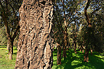 T-017 Cork Oak in Ilanot