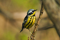 Magnolia warbler (Dendroica magnolia) male in breeding plumage rests in mixed forest along Lake Erie shoreline near Canada and USA border during annual spring migration northward to summer nesting grounds. About 74% of Magnolia Warblers in North America breed within Canada's boreal forest..