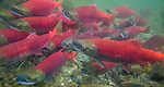 Sockeye salmon, Katmai National Park, Alaska
