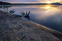 Brown bear tracks, moose antlers, red salmon along the shore of Naknek Lake, Katmai National Park, Alaska