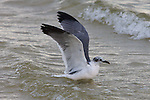 Laughing Gull