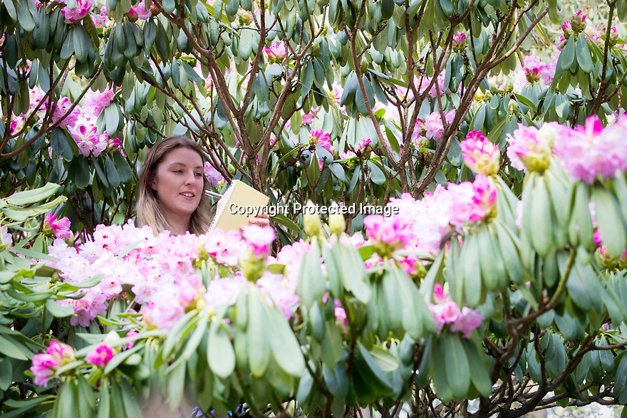 """22/01/19<br /> <br /> Garden curator Rebecca Emery (26) records the early flowering of a mature 'Robyn' rhododendron at Lea Garden, near Matlock, Derbyshire. <br /> <br /> Garden and collection owner Pete Tye said: """"This variety  normally flowers in mid-March but is flowering at least two weeks earlier than usual due to the unusual warm start to spring - it's the earliest we've seen them flower since we began keeping records fifteen years ago.<br /> <br /> """"It's great to see the signs of spring and hopefully the winter is behind us now, but a frost could be catastrophic for the flowers.""""<br /> <br /> Lea Gardens opens to the public on March 1st.<br /> <br /> All Rights Reserved, F Stop Press Ltd +44 (0)7765 242650  www.fstoppress.com rod@fstoppress.com"""