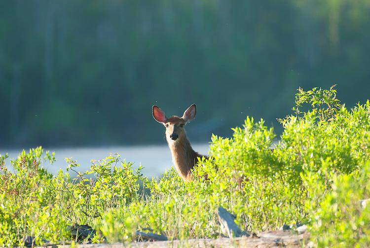 Female white-tailed deer in spring still shedding the winter coat.