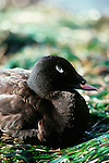 White-winged scoter, Washington