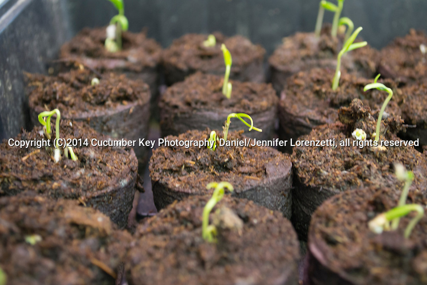 Pepper seedlings uncurl from their seed coats, reaching for the grow light a day or two after first starting to sprout.  Left to right, varieties are Paprika, Candy Apple, and Nikita.