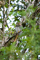 A Cuban Pygmy Owl (Glaucidium siju), nearly unnoticed perched in the trees over a trail. Guanahacabibes, Cuba
