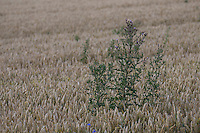 Acker-Kratzdistel, Ackerkratzdistel, Kratzdistel, auf einem Getreidefeld, Ackerdistel, Acker, Distel, Cirsium arvense, Creeping thistle, Canada thistle, corn thistle, Le cirse des champs