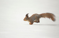 Red Squirrel running in the snow (Sciurus vulgaris) , Finland, April 2015