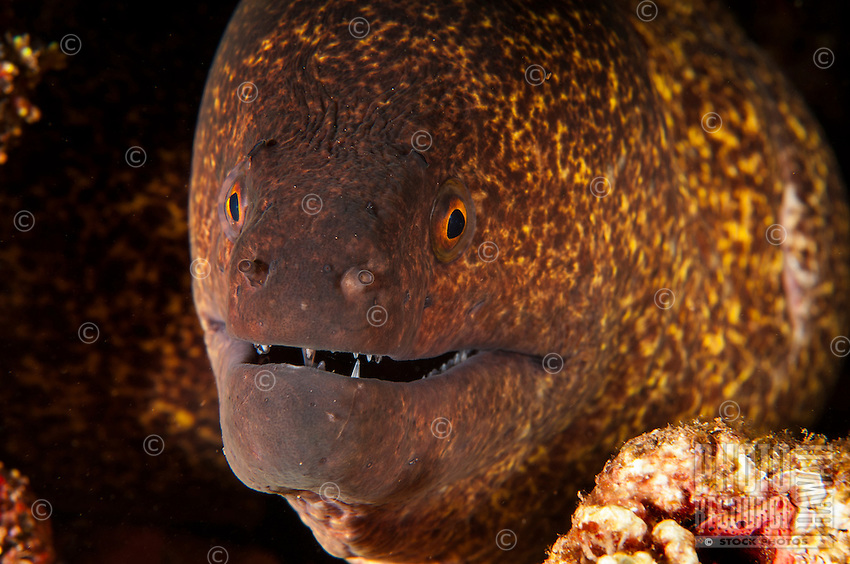 An underwater closeup of a smiling yellowmargin moray along the North Shore of O'ahu.