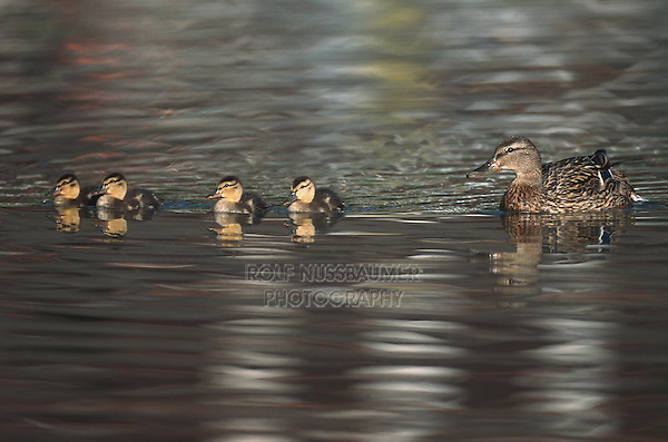 Mallard (Anas platyrhynchos), female with young, Switzerland