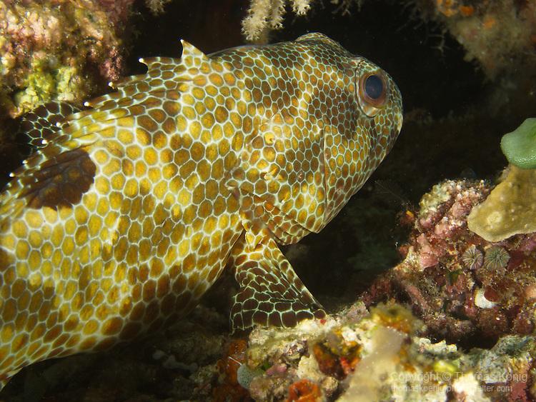 Apo Reef, Sulu Sea -- Longfin grouper on the ledge of a sea wall.