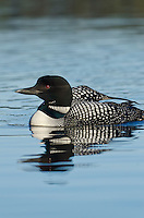 Common Loon (Gavia immer) Northern North America, Summer.  Sometimes also called Great Northern Loon or Diver.