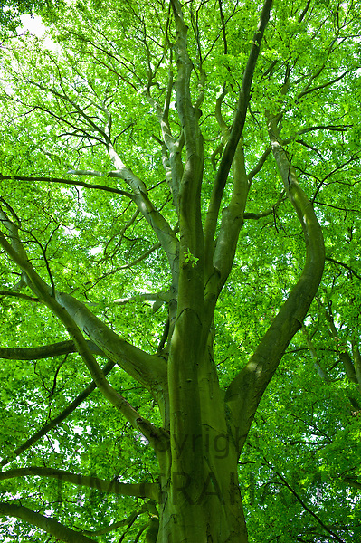 Beech tree, Asthall, the Cotswolds, Oxfordshire, UK