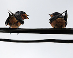 Two Barn Swallows on a wire communicate at Babylon Riding Center in Babylon, NY in May 2006. Photo by Jim Peppler. Photo by Jim Peppler. Copyright Jim Peppler/2006.