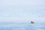 polar bear crossing frozen fiord, June
