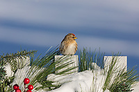 Female common redpoll perched on a decorated white picket fence.