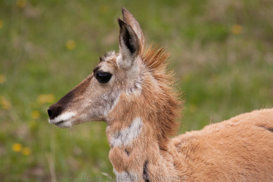 Female pronghorn in the Lamar valley of Yellowstone National Park