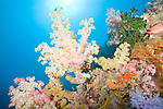 Rainbow Reef, Somosomo Strait, Fiji; large, colorful soft corals grow out into the current, at the edge of the coral reef, with sun rays breaking through the blue water background