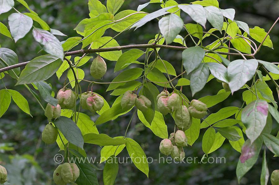 Gewöhnliche Pimpernuss, Pimpernuß, Pimper-Nuss, Pimper-Nuß, Früchte, Staphylea pinnata, European Bladdernut, Faux-pistachier, Staphilier