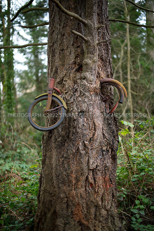 3/21/2012--Vashon Island, WA, USA..Vashon Islands strangest landmark, the 'bicycle tree. The tree, just off the highway near the second four-way stop that appears to have eaten a small boys bicycle. Many years ago, a child left his red bike against the tree, and, this being Vashon, the bike was left unmolested for so long that the tree grew a branch under the bike and eventually subsumed the frame into its trunk, leaving only the wheels and handlebars sticking out. The bike tree was made famous by Berkeley Breathed, of Bloom County fame, who wrote a touching childrens book called Red Ranger Came Calling about the bikes true origin...©2012 Stuart Isett. All rights reserved.