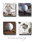 Humorous look at multiple images of Shorebirds and their eggs