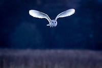 Barn owl (Tyto alba) in flight. Papercourt Water Meadows, Surrey, UK.