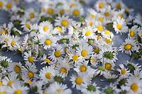 Gänseblümchen trocknen auf einem Tablett, Gänseblümchen ernten, Ernte, Kräuterernte, Kräutersammeln, Ausdauerndes Gänseblümchen, Mehrjähriges Gänseblümchen, Maßliebchen, Tausendschön, Bellis perennis, English Daisy, common daisy, lawn daisy, la Pâquerette, la pâquerette vivace
