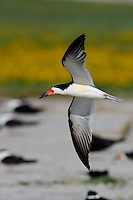 Black Skimmer, Rockport, Texas