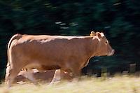Europe/France/Midi-Pyrénées/12/Aveyron/Env de Rieupeyroux:  Ferme: La Maynobe de Pierre Bastide et son fils Romain. Elevage de  Veau d'Aveyron et du Ségala - Le Veau d'Aveyron et du Ségala est un veau fermier,  il est allaité par sa mère et reçoit en complément des céréales .