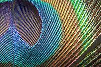 """Feder, Schwanzfeder eines Pfau, das """"Auge"""" auf den Schwanzfedern, Pavo cristatus, farbenprächtige Lichtreflexionen"""