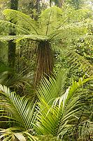 Tree fern-ponga- and Nikau Palm, Paparoa National Park, Punakaiki, Buller Region, West Coast, New Zealand, NZ