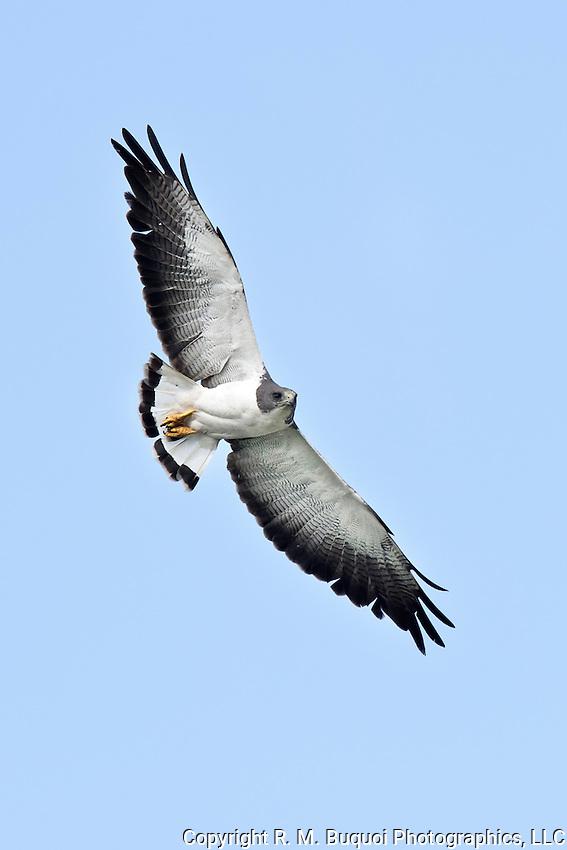 White-tailed Hawk in flight