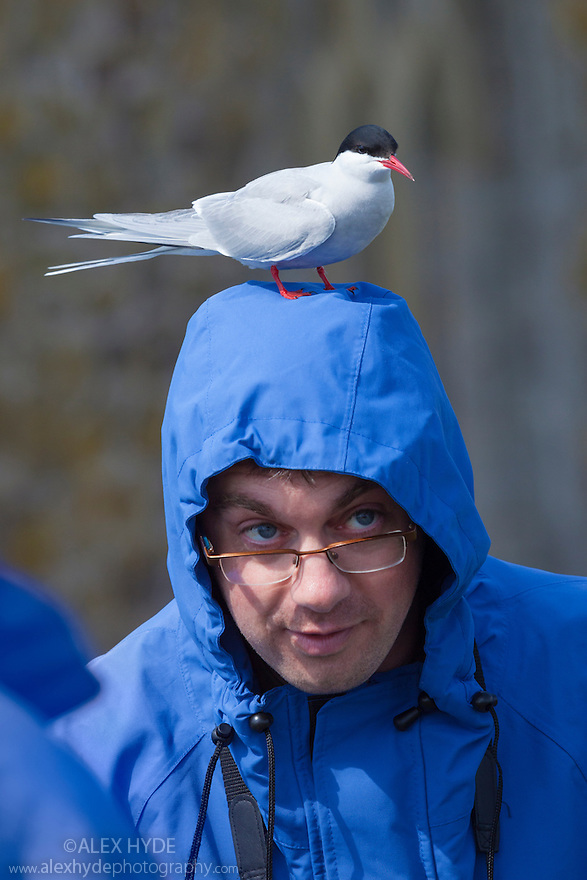 Arctic Tern {Sterna paradisaea} resting on man's head. Farne Islands, Northumberland, UK. May.