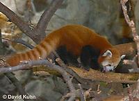 0313-1102  Red Panda, Ailurus fulgens  © David Kuhn/Dwight Kuhn Photography